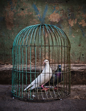Antique Bird Cage With A Dove ...