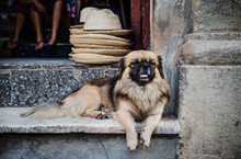 Dog On The Streets Of Havana, ...