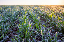 Winter Crops, Wheat Damaged By...