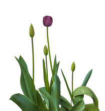 "Black Late Tulips  ""Black Hero..."