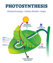 Photosynthesis Leaf Vector Illustration. Labeled Educational Process Scheme