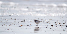 Vendée: Plover With Interrupt...