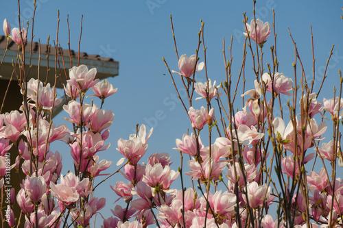 Photo Magnolia fiorita in una giornata primaverile