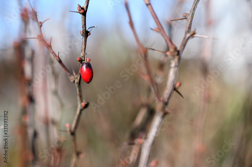 barberry red berry on a bush in early spring Canvas Print