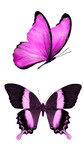 Fototapeta Motyle - Two beautiful violet tropical butterflies isolated on a white background. moths for design