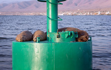 Seals Resting On Buoy. Illo Pe...