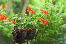 Pots With Thuja, Hanging Pots With Red Pelargonium