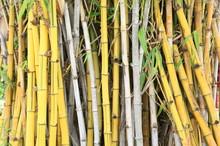 Wild Golden Bamboo Stems Stran...