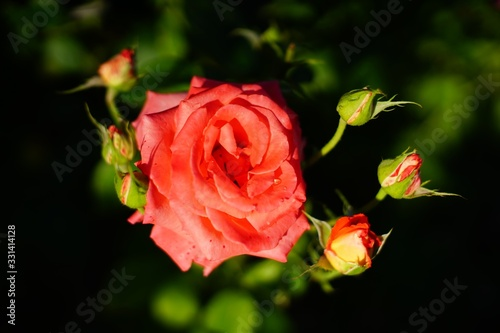 Pink and red roses in full bloom in summer