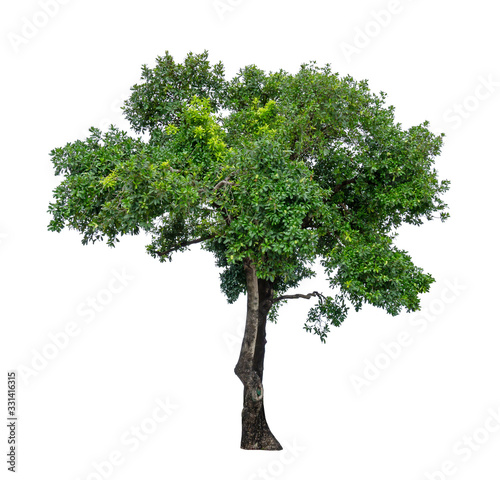 Photo Single green tree isolated,  an evergreen leaves plant di cut on white backgroun