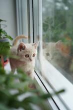 British White Kitten Sits On A Window