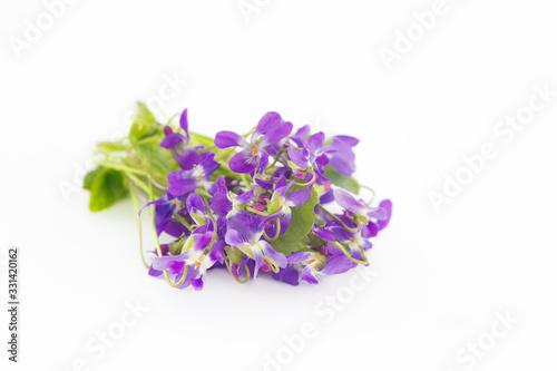 Violet flowers. Spring violet flowers, closeup