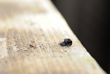 Two Ladybugs On A Wooden Surfa...