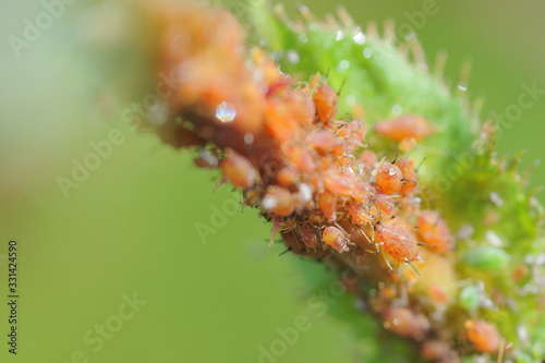 Rose with a disease several aphids are located at the branch of this rose aphids Canvas Print