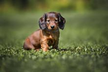 Long Haired Dachshund Puppy Si...
