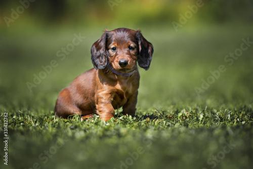Fotografia long haired dachshund puppy sitting on grass