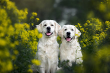 Two Happy Golden Retriever Dog...