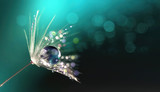 Beautiful shiny dew water drop on dandelion seed in nature. Close-up macro. Sparkling bokeh. Dark blue green background.