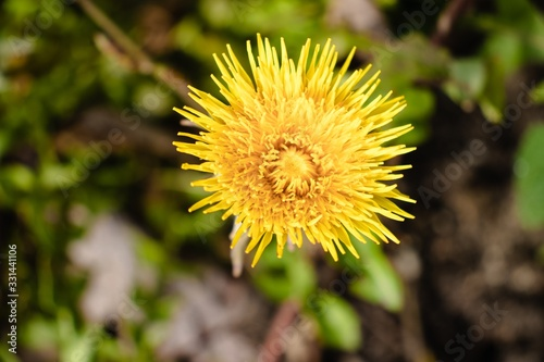 Closeup shot of a beautiful yellow dandelion flower on a blurred background