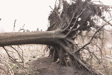 Old Broken Tree With Thick Roo...