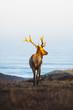 Hirsch auf begrastem Hügel mit goldenem Sonnenaufgang Licht auf Geweih.