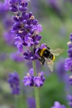Vertical Closeup Shot Of A Bumblebee On A Purple Lavender Flower