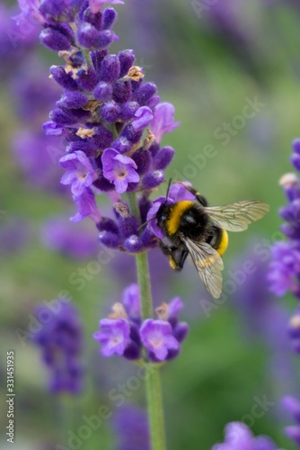 Photo Vertical closeup shot of a bumblebee on a purple lavender flower