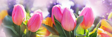 Pink Tulips In A Flower Bed