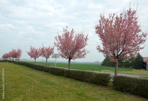 Prunus sargentii 'Rancho' alley Height: 8 - 10 m Crown: wide vase to round, half Fototapeta
