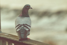 Pigeon On A Background