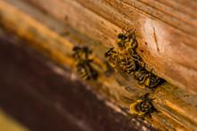 Bees Sitting At The Entrance O...