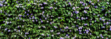 Green Surface Of Plants And Leaves With Purple Petunia Flowers In Spring - Horizontal Floral Wall Background For A Banner Or A Wallpaper