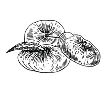Flat Peaches With Leaf In Line Art Style.
