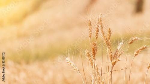 Golden golden barley shoots blurred background waiting for harvest