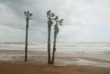 Three Palm Trees On A Stormy Day