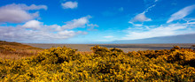 The Yellow Flowering Gorse On The Coast