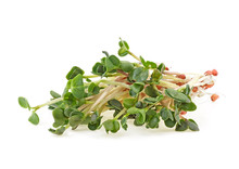 Young Sprout Microgreen Isolat...