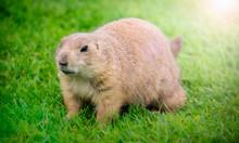Closeup Portrait Of A Prairie Dog In The Grass