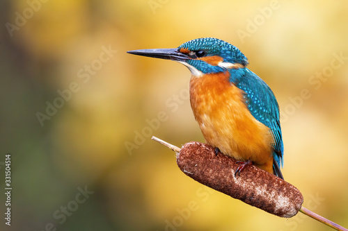 Fototapeta Cute male common kingfisher, alcedo atthis, sitting on bulrush flower in spring at sunrise. Small bird with colorful feathers looking in nature from front view. obraz