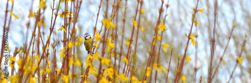 Proud bluetit/nun in the branches of a forsythia with yellow blossoms in spring Fototapeta
