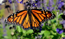 A Female Monarch Butterfly With Stunning Orange And Black Wings Feeds On Blue Salvia. (Danaus Plexippus) Closeup.