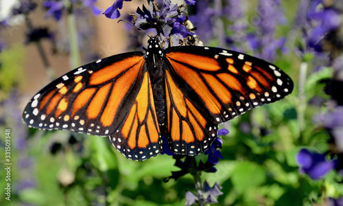 A female Monarch butterfly with stunning orange and black wings feeds on blue salvia Wallpaper Mural