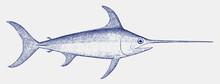 Adult Swordfish, Xiphias Gladi...