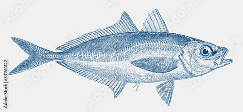 Atlantic or european horse mackerel, trachurus, a threatened fish from the easte Slika na platnu