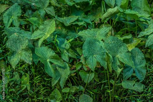 Broadleaf arrowhead plants Canvas-taulu