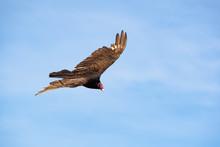Turkey Vulture Soaring Overhea...