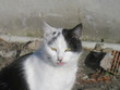 cat animal white black pet