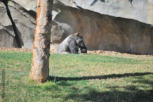 Photo Chimpanzee playing with fresh grass