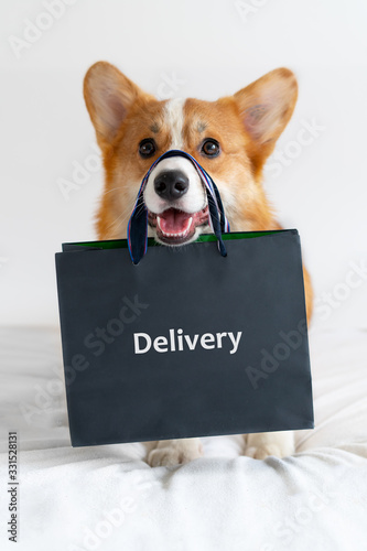 Obraz Cute corgi dog holding shopping bag on the nose. Delivery - fototapety do salonu