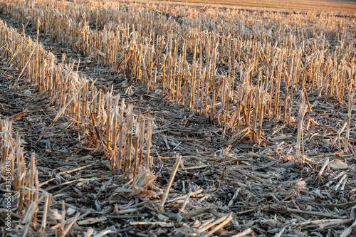 Vászonkép Diagnol rows of cornstalks.
